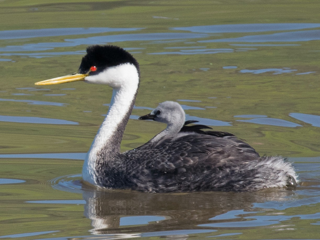 Western Grebe - Nancy Christensen