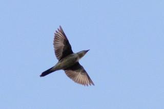 - Yellow-eyed Starling
