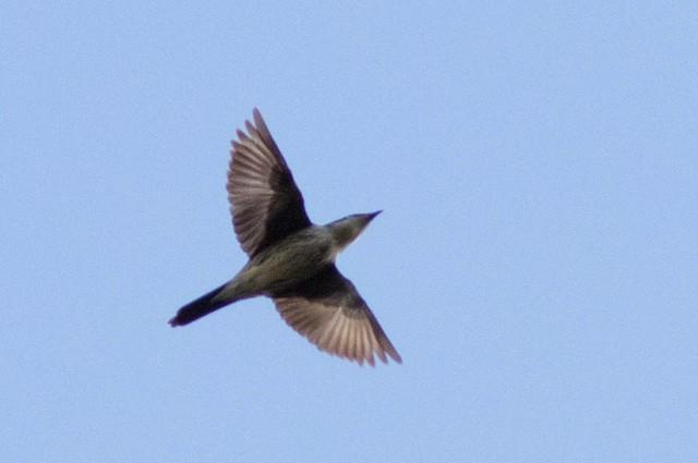Yellow-eyed Starling
