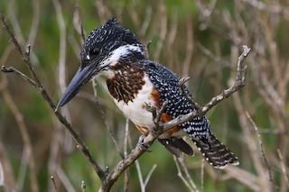 - Giant Kingfisher