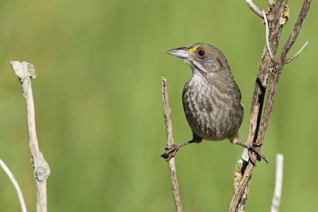 Seaside Sparrow (Atlantic)