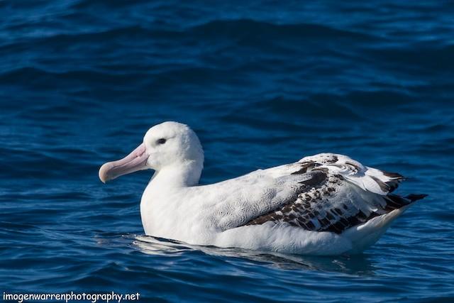 Wandering Albatross (Gibson's)