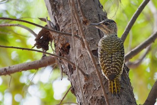 - Golden-tailed Woodpecker