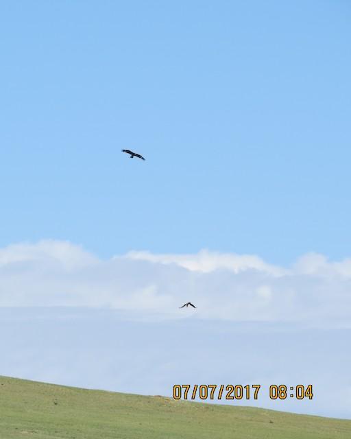 Immature Golden Eagle (above) with Steppe Eagle (below) (<em>Aquila nipalensis</em>).