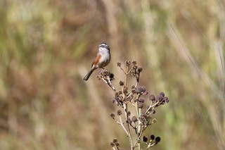 - Rufous-sided Warbling-Finch