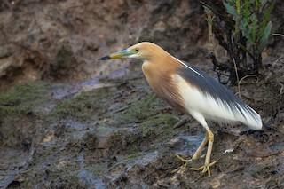 - Javan Pond-Heron