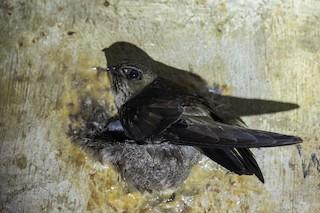 - Black-nest Swiftlet