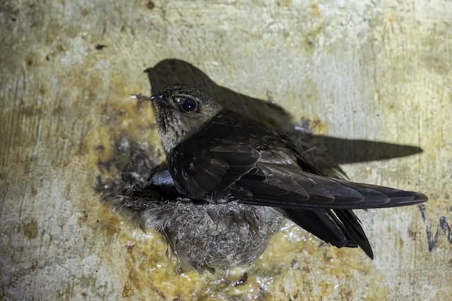 Black-nest Swiftlet