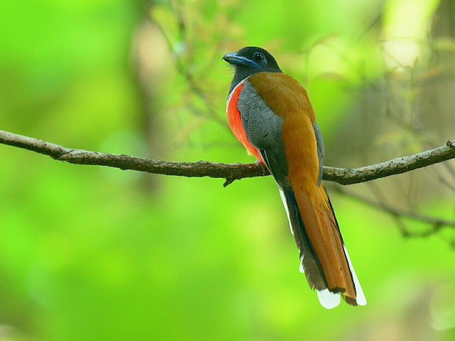 ©Renuka Vijayaraghavan - Malabar Trogon