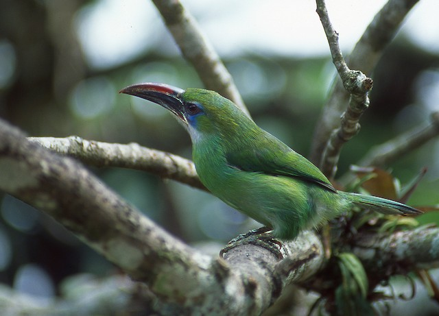 Groove-billed Toucanet (Groove-billed)