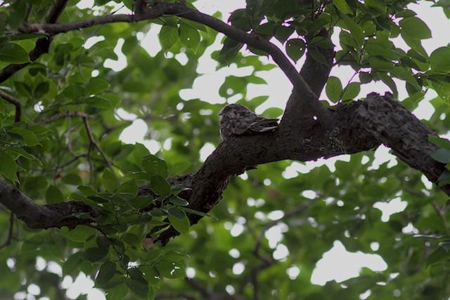Jungle Nightjar