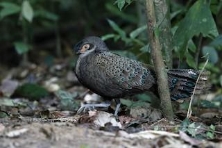 - Malayan Peacock-Pheasant