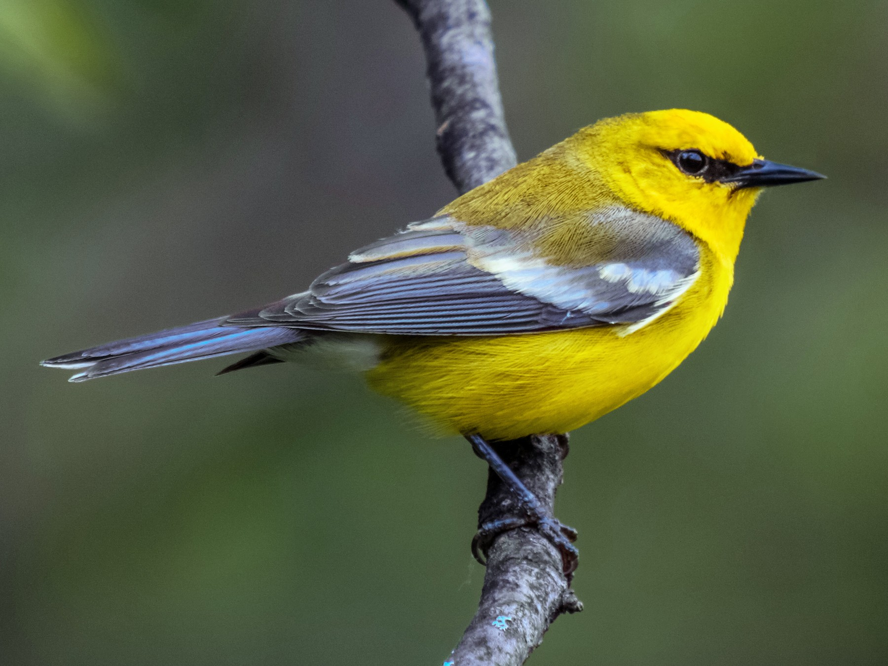 Blue-winged Warbler - Joseph Pescatore
