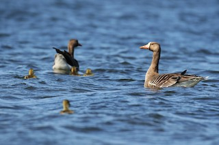 Greater White-fronted Goose (Western), ML65576361