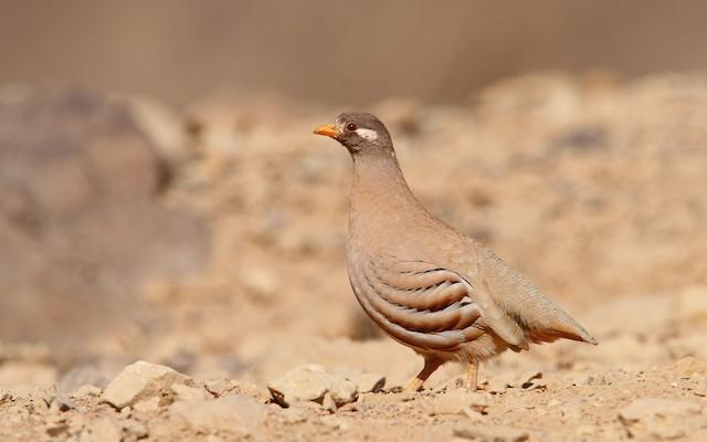 Sand Partridge ML65604221