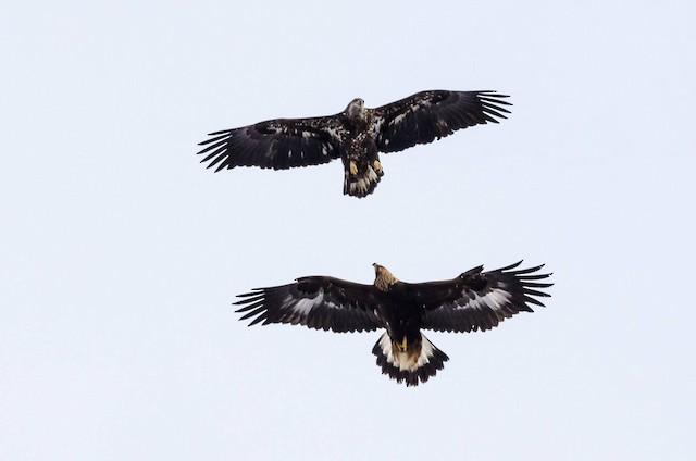 Juvenile Golden Eagle (below) and Juvenile Bald Eagle (above).