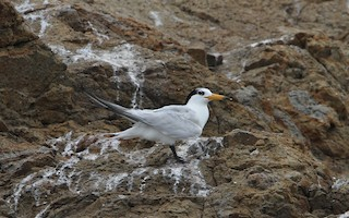 - Chinese Crested Tern