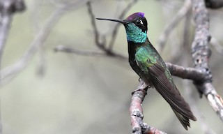 - Rivoli's Hummingbird