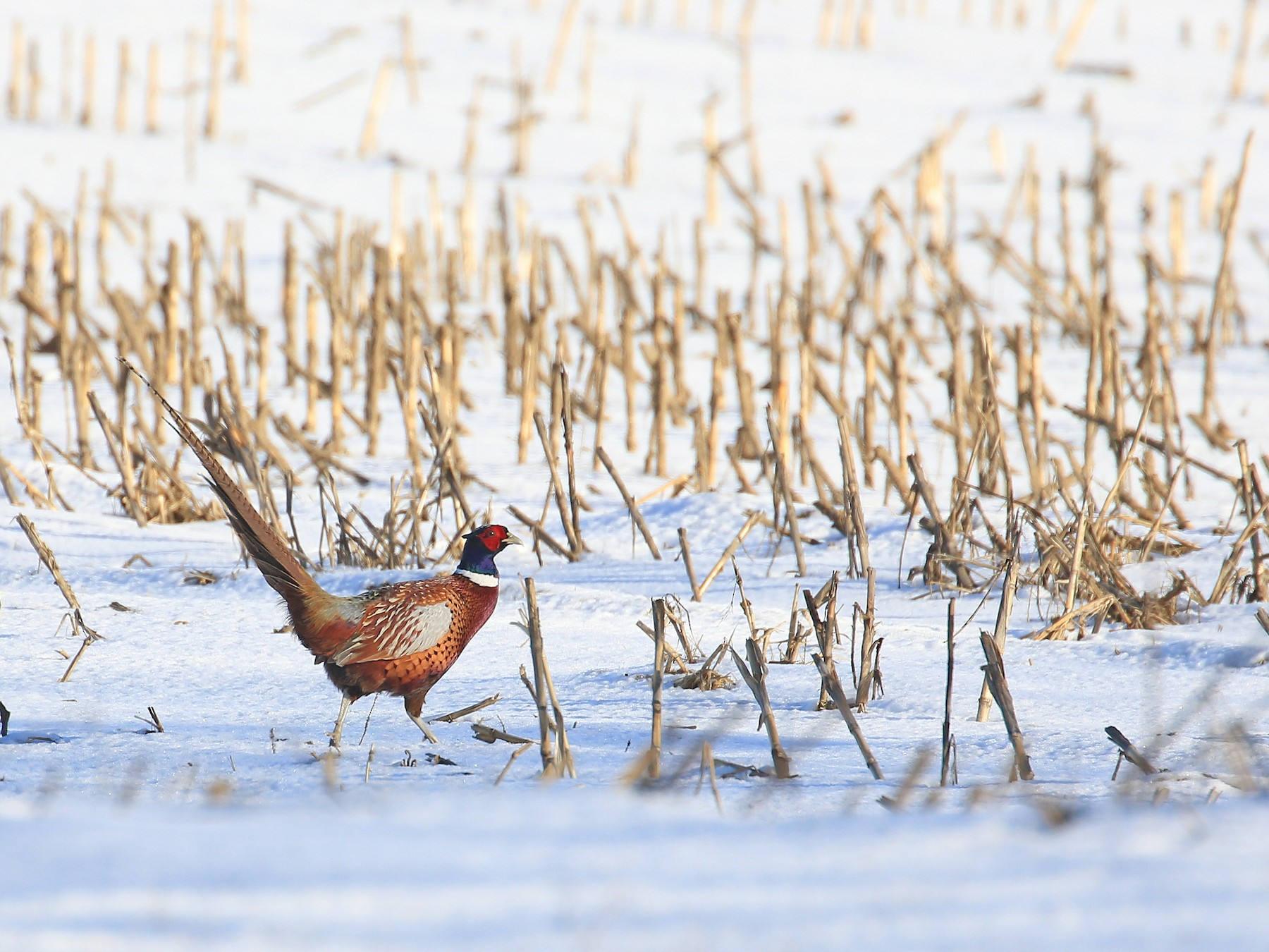 Ring-necked Pheasant - Tim Lenz