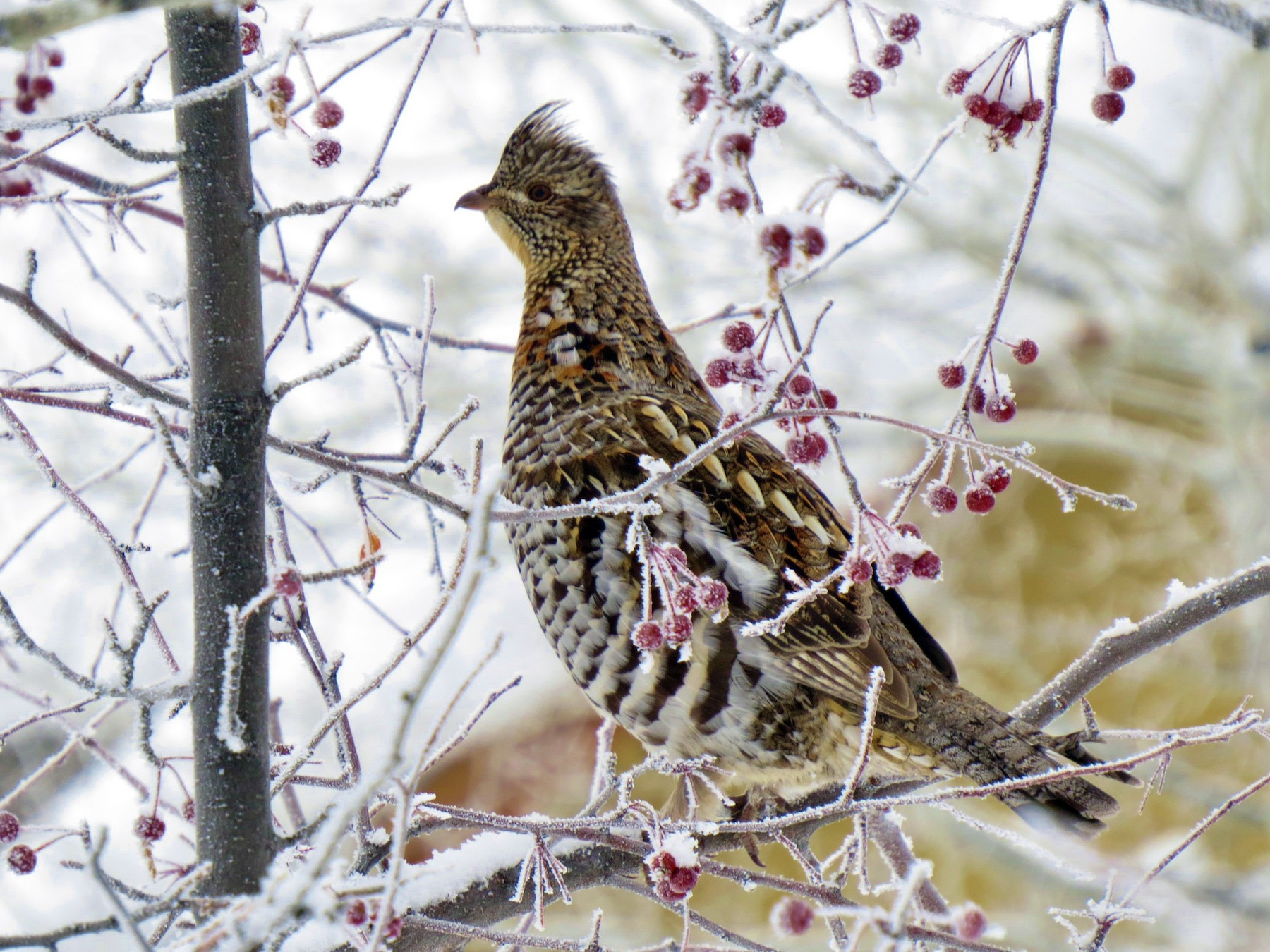 Ruffed Grouse - Marya Moosman
