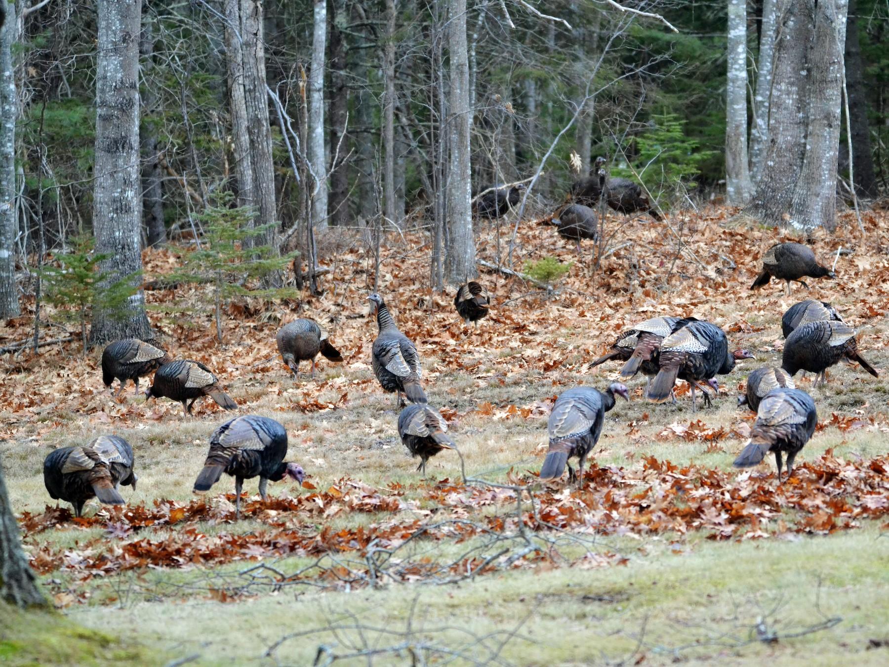 Wild Turkey - Michael J Good