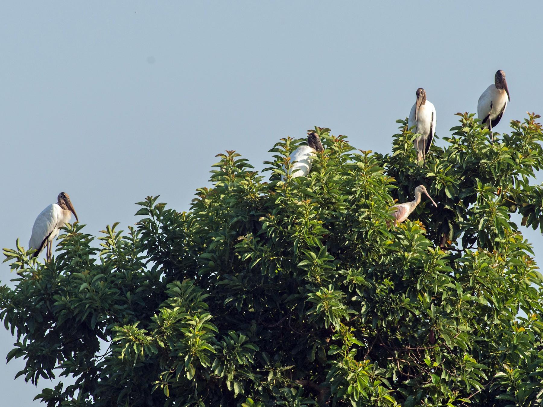 Wood Stork - Flavio Moraes