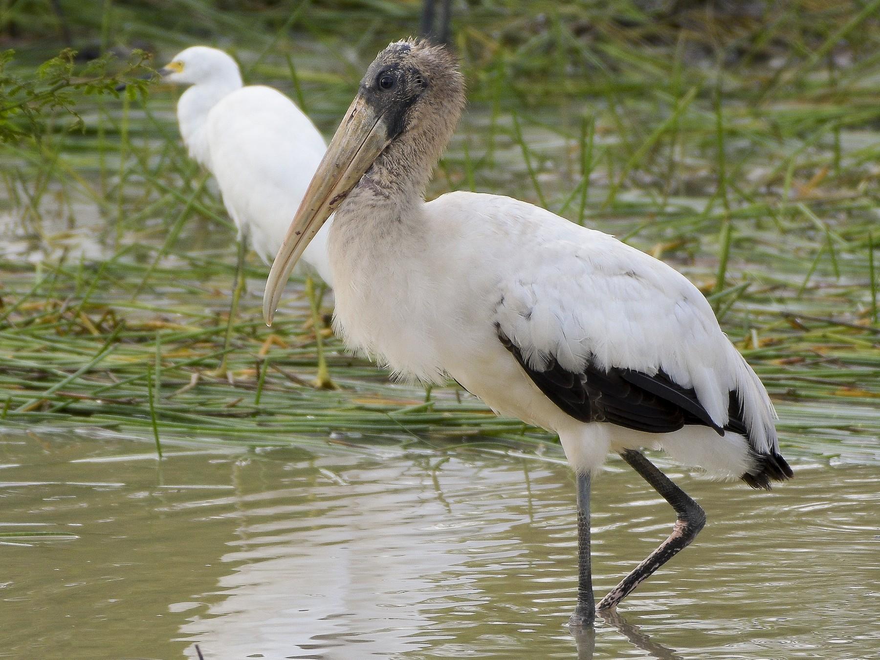Wood Stork - Carlos Echeverría