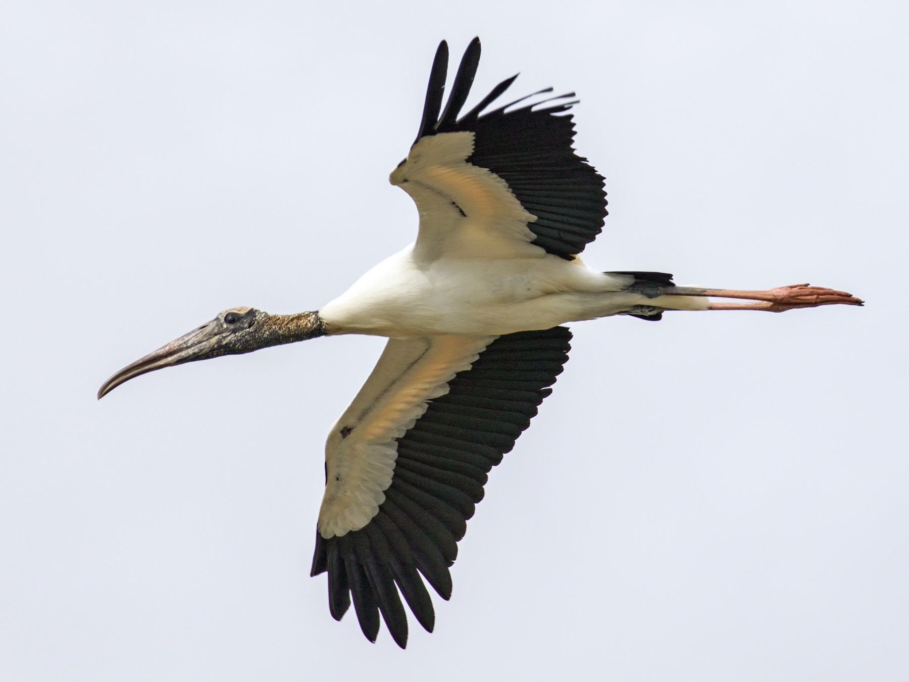 Wood Stork - Gates Dupont