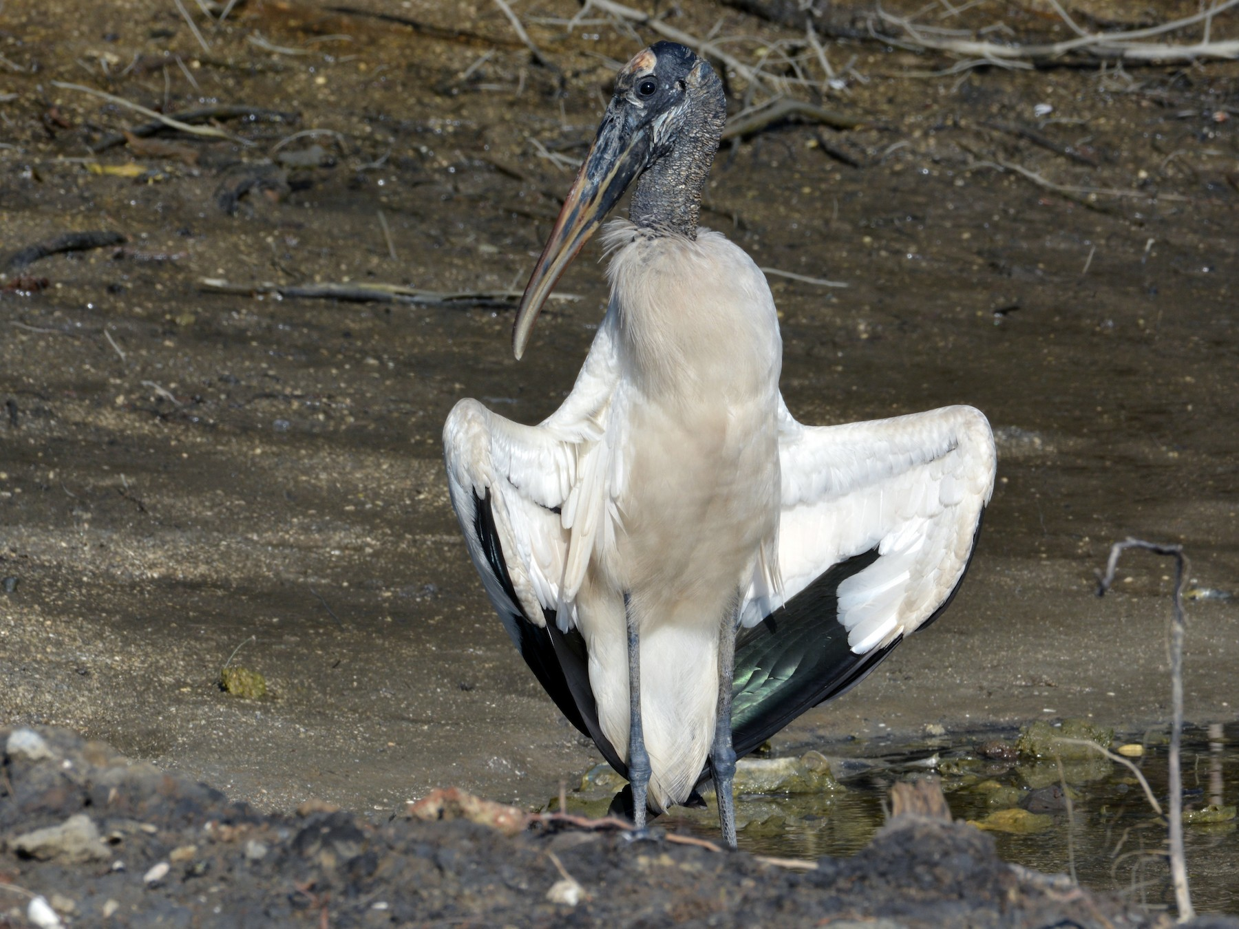 Wood Stork - Kevin Dailey