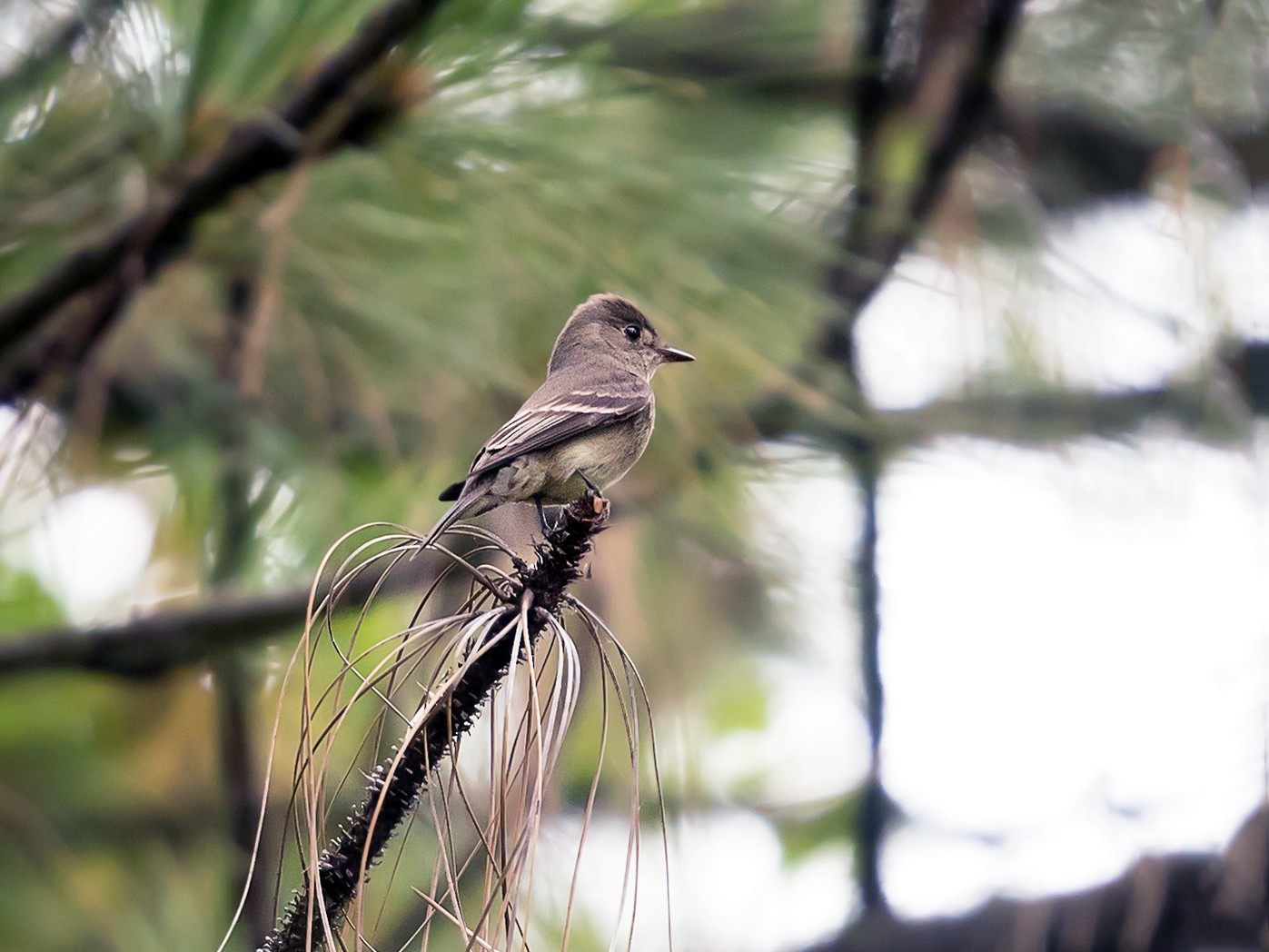 Western Wood-Pewee - Deb Ford