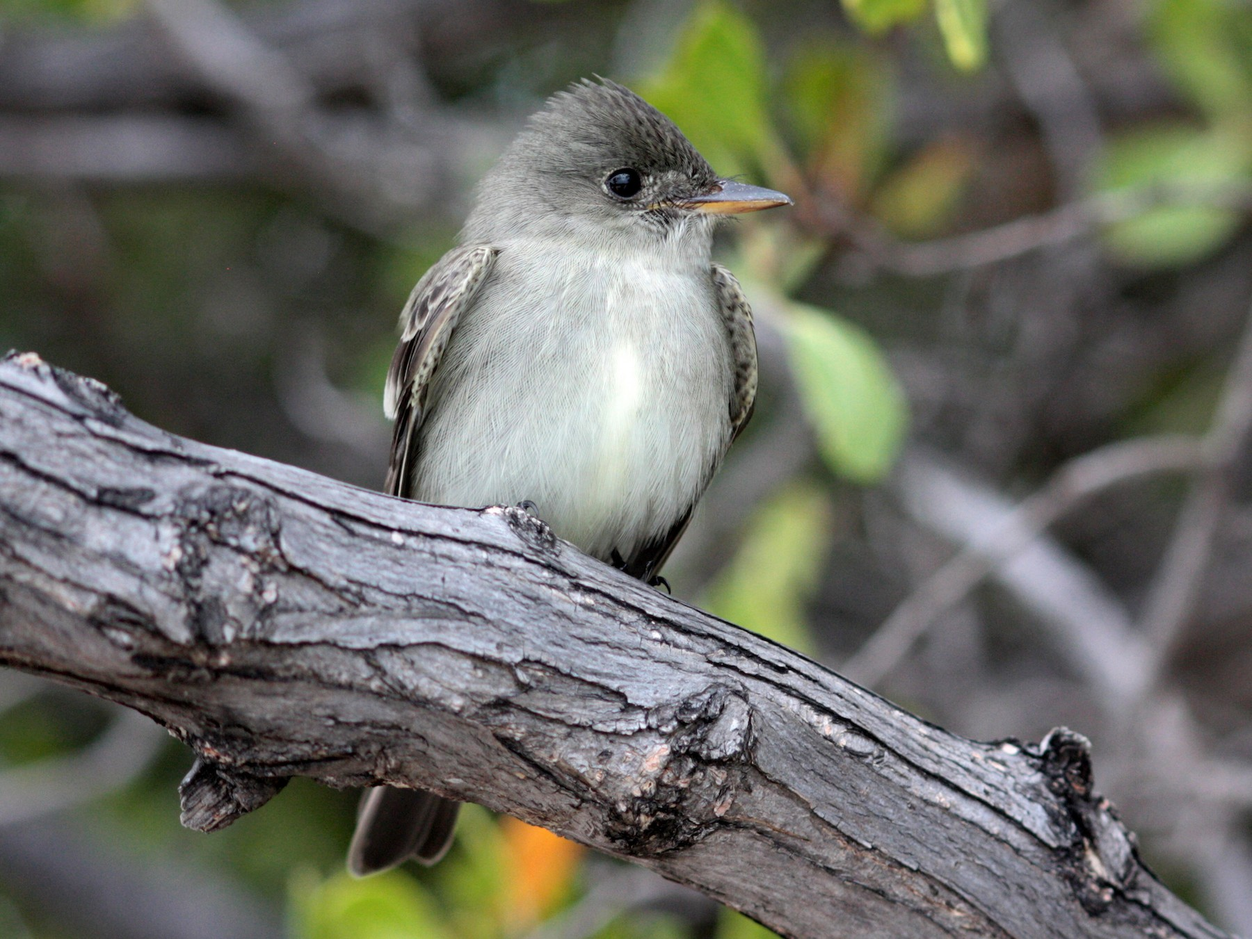 Eastern Wood-Pewee - Corey Callaghan