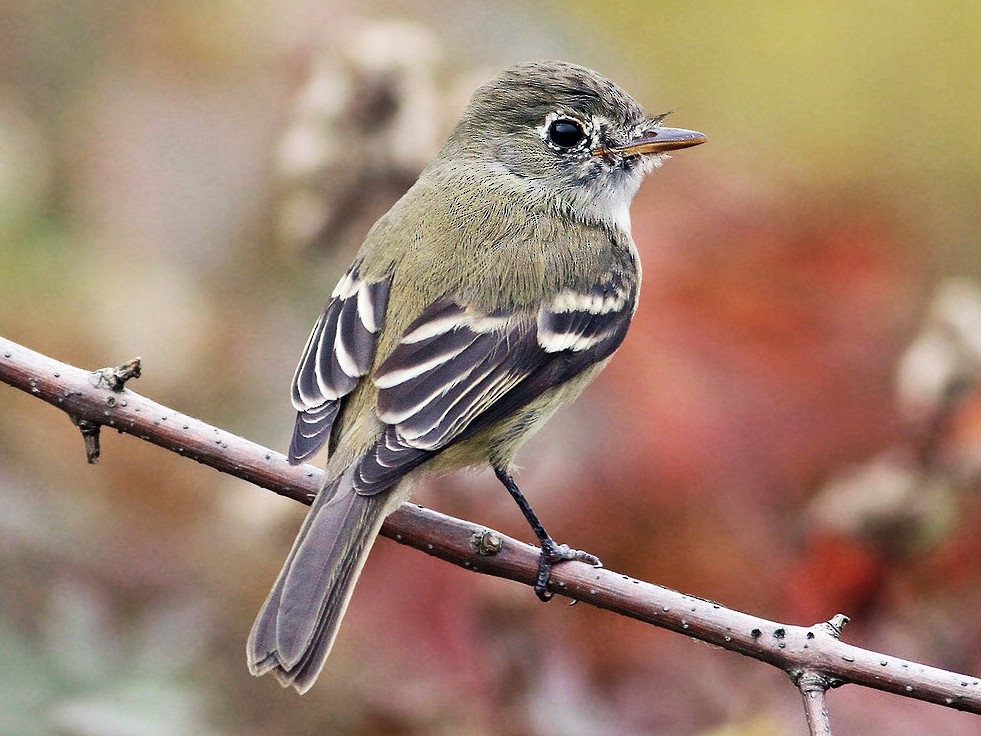 Least Flycatcher - Jeremiah Trimble