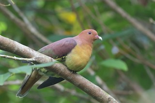 - Cinnamon-headed Green-Pigeon