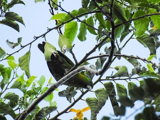 - Yellow-breasted Racquet-tail