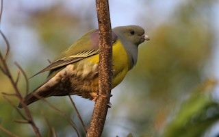 - Bruce's Green-Pigeon