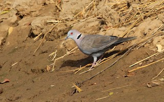 - Mourning Collared-Dove