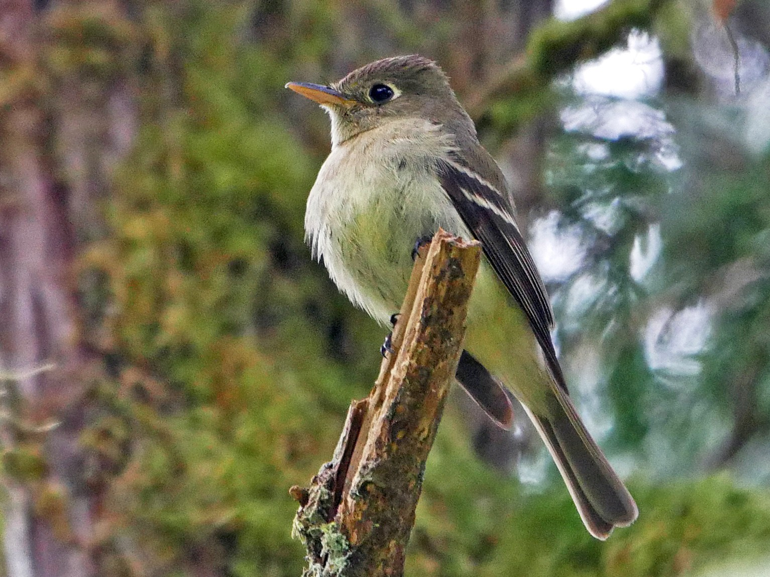 Pacific-slope Flycatcher - Grace Oliver