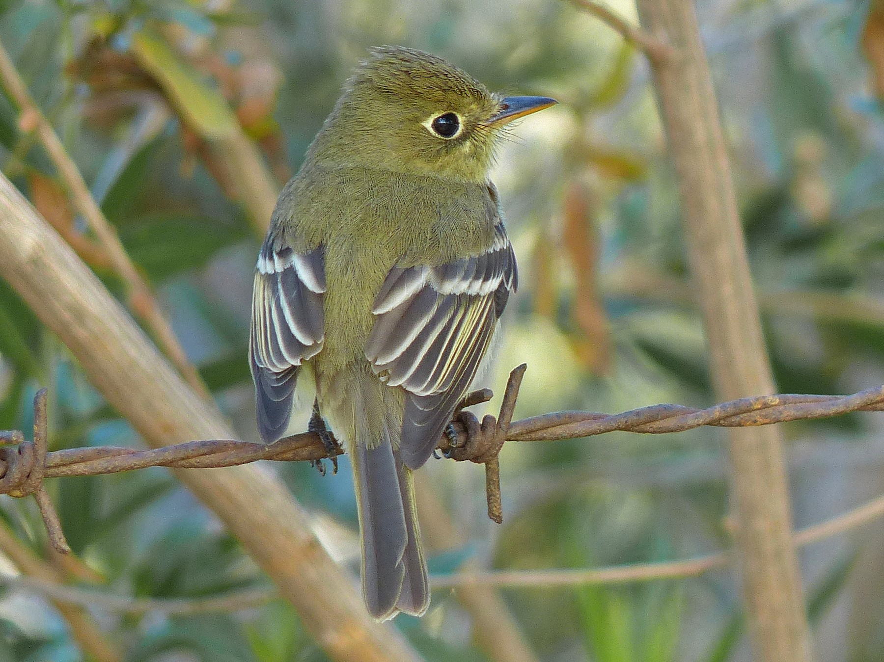 Pacific-slope Flycatcher - Robert Hamilton