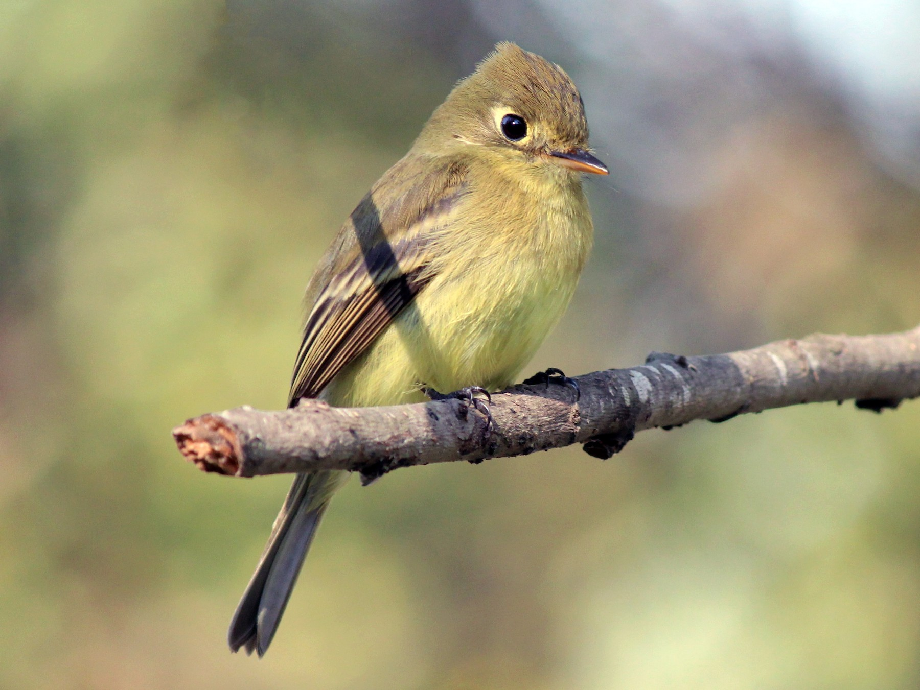 Pacific-slope Flycatcher - Jonathan  Vargas