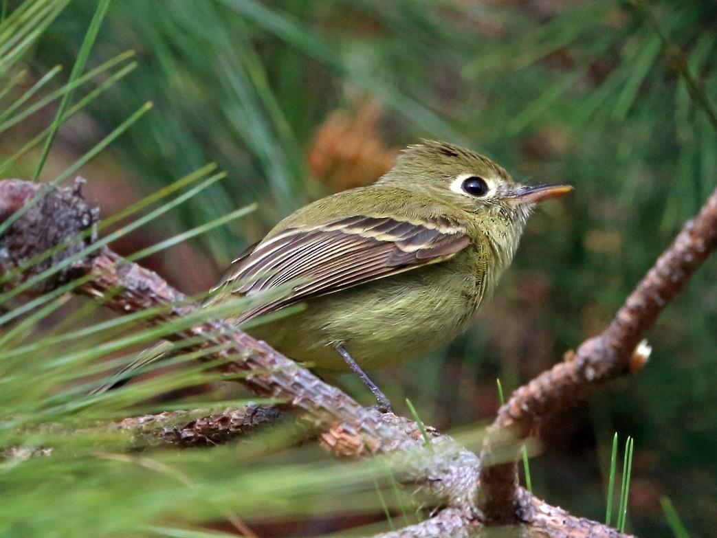 Cordilleran Flycatcher - Nigel Voaden