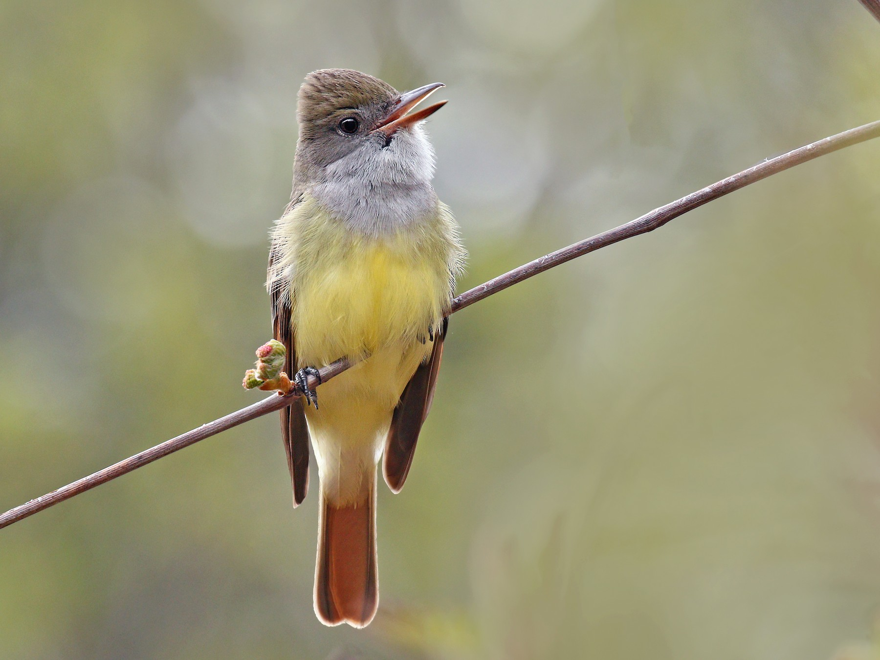 Great Crested Flycatcher - Ryan Schain
