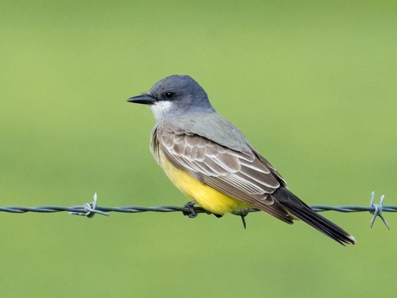 Cassin's Kingbird - Angus Wilson