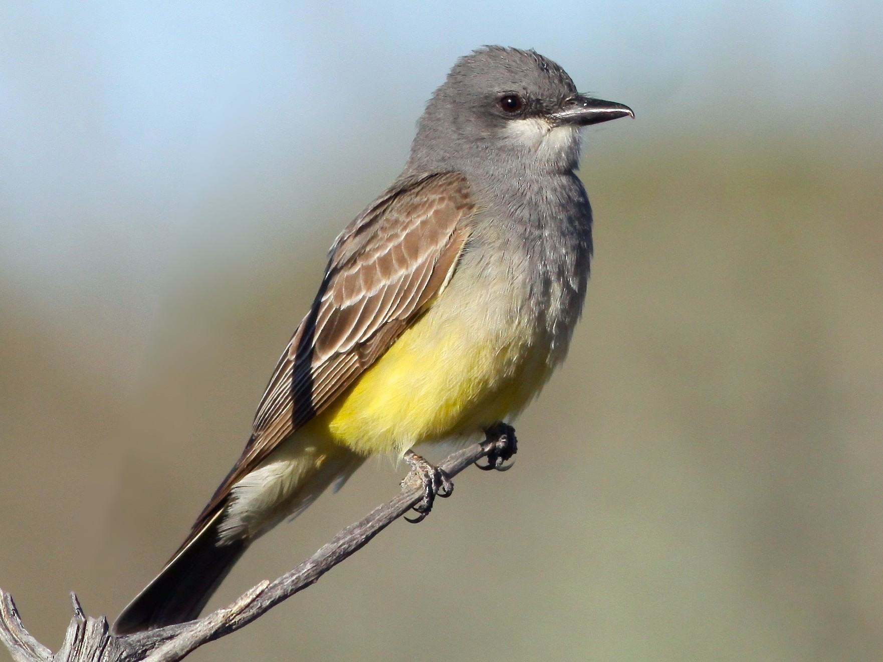 Cassin's Kingbird - Roger Clark
