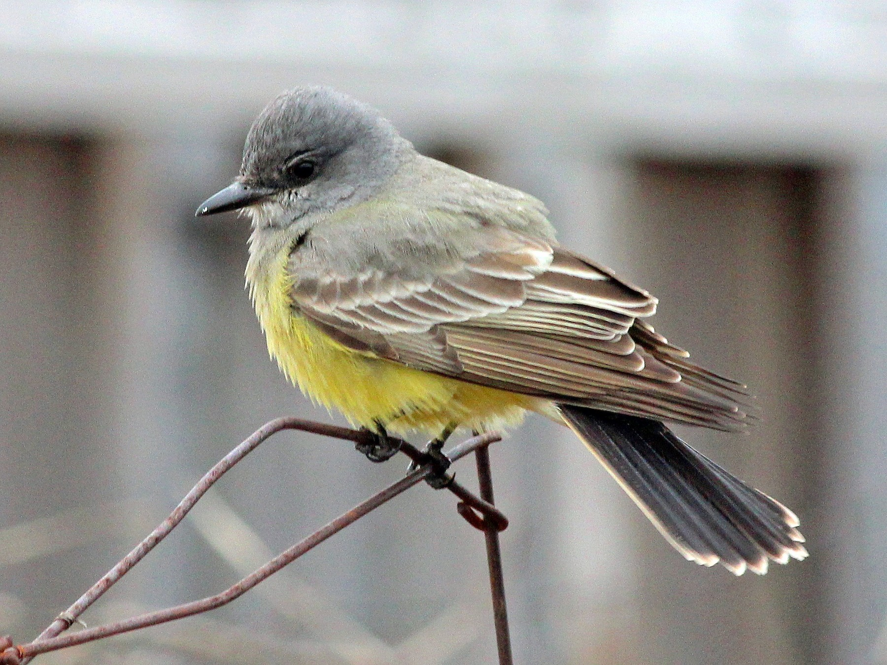 Cassin's Kingbird - Shawn Billerman