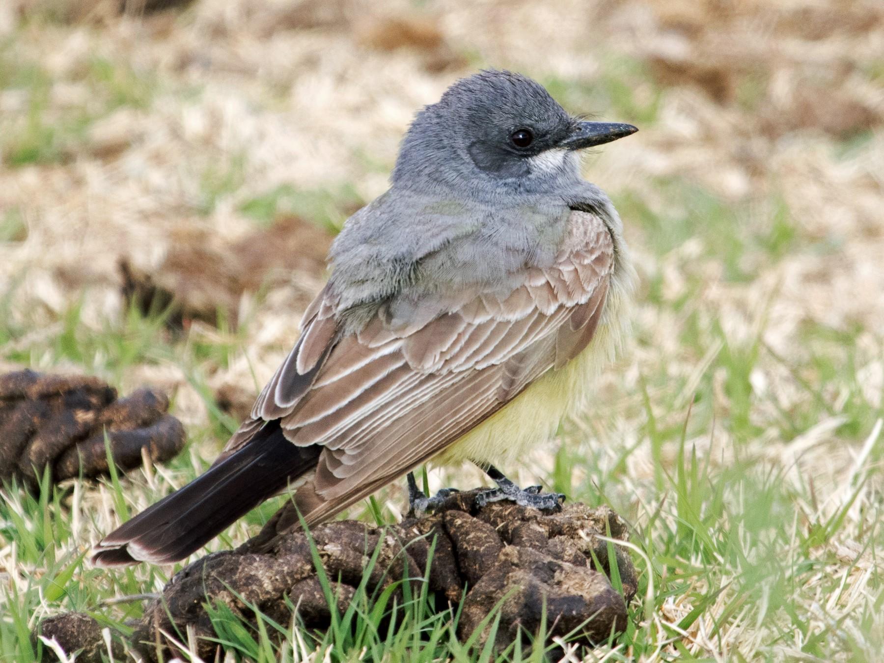 Cassin's Kingbird - Michael Andersen