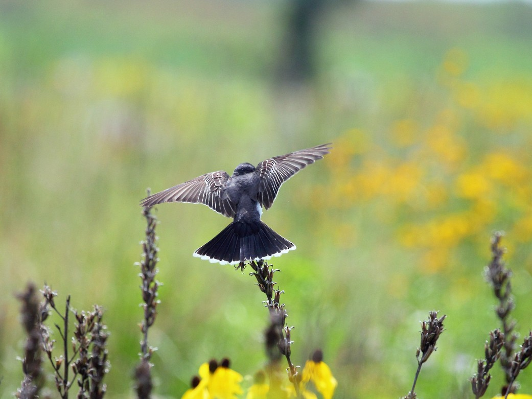 Eastern Kingbird - Jeff Bryant