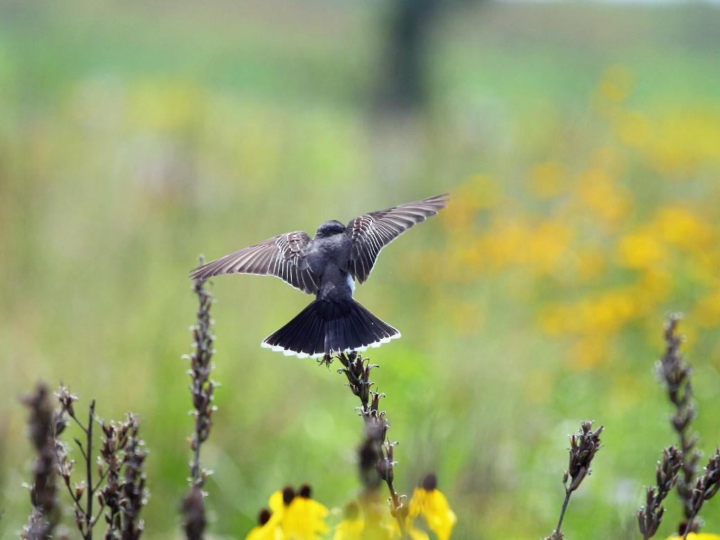 Eastern Kingbird - Jeff Bryant