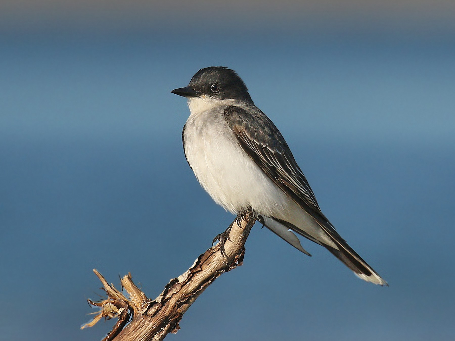 Eastern Kingbird - Ryan Schain