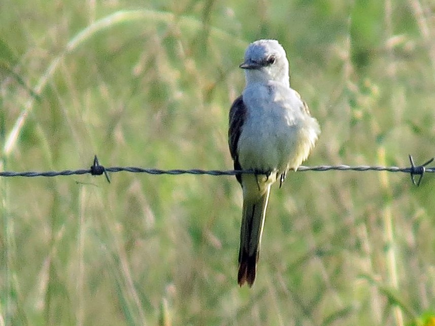 Scissor-tailed Flycatcher - Joan Baker