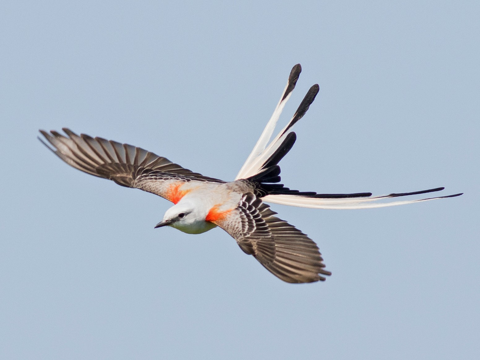 Scissor-tailed Flycatcher - Doug Gochfeld